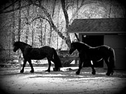 Friesian Prints - Cora and Gracie Print by Kim Galluzzo-Wozniak