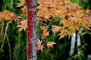Tanya  Searcy - Coral Bark Japanese Maple