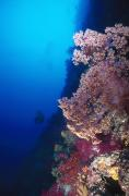 Diver Art - Coral Reef Wall With Pink Softcoral by James Forte