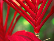 Cordyline Framed Prints - Cordyline Framed Print by Tammy McKinley