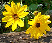 Padre Art Photos - Coreopsis Bloom Duo by Padre Art