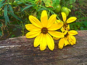Padre Art Photos - Coreopsis Flowers and Railroad Tie by Padre Art