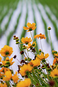 Tickseed Prints - Coreopsis Lanceolata In Front Of Rice Field Print by Glittering star. A whisper of trees. The noise of the town.