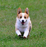 Dog At Play Posters - Corgi Poster by Dorrie Pelzer
