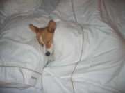 Sleeping Dogs Photos - Corgi Sleeping Softly by Don Struke