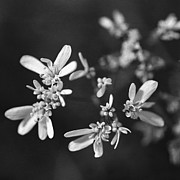 Reverse Photos - Coriander flowers. by Paul Cowan