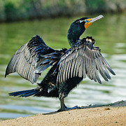 Cormorant 7  Wilderness Lakes Print by Nadine and Bob Johnston