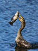 Phalacrocorax Auritus Prints - Cormorant Catches Catfish Print by Barbara Bowen