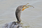 TJ Baccari - Cormorant Catches Shrimp