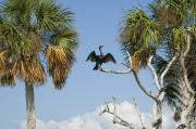 Cedar Key Acrylic Prints - Cormorant Drying Acrylic Print by Stacey Lynn Payne