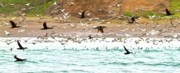 Feeding Photos - Cormorant Flight in Frenzy by Gus McCrea