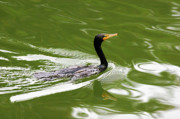 Phalacrocorax Auritus Prints - Cormorant Print by Randall Ingalls
