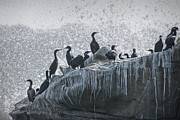 Lajolla Metal Prints - Cormorant Seabirds at LaJolla Metal Print by Randall Nyhof