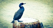 Nikon D90 Prints - Cormorant Waits for the Ferry Print by Ronda Broatch