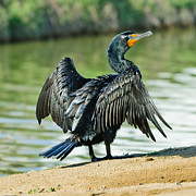 Chalky Prints - Cormorant Wilderness Lakes Print by Nadine and Bob Johnston