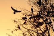 Eustis Prints - Cormorants at sunset Print by Matt Suess