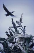 Flocks Posters - Cormorants Fly Above Driftwood, Grey Poster by Leanna Rathkelly