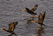 Cormorants Prints - Cormorants in Flight 1 Print by Lawrence Christopher