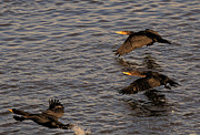 Cormorants Prints - Cormorants in Flight 2 Print by Lawrence Christopher