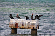 Cormorants Prints - Cormorants Key West Print by Bill Cannon