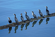 Ed Nicholles Acrylic Prints - Cormorants Reflecting Acrylic Print by Ed Nicholles