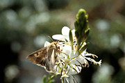 Boll Photos - Corn Earworm Moth by Science Source