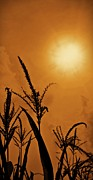 Gold Stock Framed Prints - Corn Field Haze  Framed Print by David Dehner