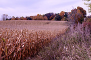 Cornfield Originals - Corn field in the Fall by Paul Cannon
