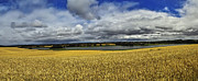 Rural Area Framed Prints - Corn Field Panorama Framed Print by Heiko Koehrer-Wagner