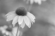 Wildflower Fine Art Prints - Corn Flower with Echos BW Print by Linda Phelps