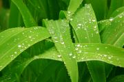 Lightning Fine Art Posters Prints - Corn Leaves After the Rain Print by James Bo Insogna