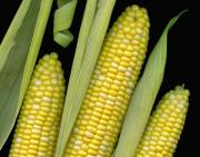 Silk Art Prints - Corn on the Cob I  Print by Tom Mc Nemar