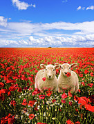 Twins Prints - Corn Poppies And Twin Lambs Print by Meirion Matthias