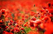 Beautiful Photos - Corn Poppies by Meirion Matthias