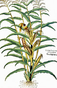 Mays Prints - Corn (zea Mays), 1542 Print by Granger