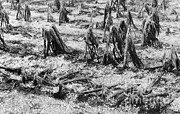 Flattened Prints - Cornfield After Hailstorm Print by Science Source