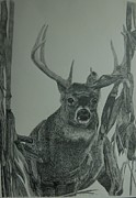 Cornfield Drawings Prints - Cornfield Buck Print by Amber Zerba