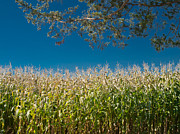 Cornfield Photos - Cornfield by John Poltrack