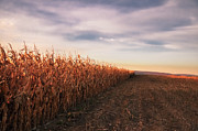 Dusk Framed Prints - Cornfield Framed Print by Michael Kohaupt