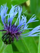 Montana Mixed Media - Cornflower Centaurea montana by Diane  Greco-Lesser