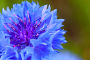 Lilac Prints - Cornflower Close-Up Print by Marc Garrido