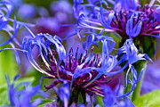 Centaurea Montana Photo Posters - Cornflower Color Poster by Byron Varvarigos