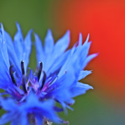 Red Background Prints - Cornflower Print by Heiko Koehrer-Wagner