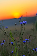 Dimm Prints - Cornflower Sunset Print by Christian Northe