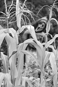 Cornstalks Prints - Cornstalks Black and White Print by James Bo Insogna