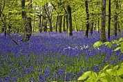 Hyacinthoides Non-scripta Posters - Cornwall Llanhydrock Gardens Poster by Dr Keith Wheeler