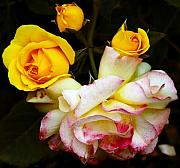 Yellow Rosebud Photos - CornwallPark10 by Robert Trauth