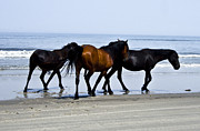 Heather Grow - Corolla Beach Horses