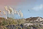 Coronado Beach Framed Prints - Coronado Island Pampas Grass Framed Print by Betty LaRue