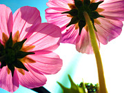 Pink Metal Prints - Cosmia flower twins Metal Print by Sumit Mehndiratta